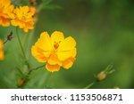 yellow cosmos or cosmos... | Shutterstock . vector #1153506871