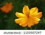yellow cosmos or cosmos... | Shutterstock . vector #1153507297
