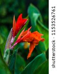 red colored canna lily with... | Shutterstock . vector #1153526761