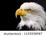 protrait bald eagle photo in... | Shutterstock . vector #1153558987