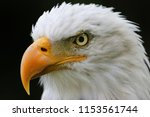 agressive looking bald eagle in ... | Shutterstock . vector #1153561744