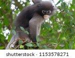 monkey or trachypithecus...   Shutterstock . vector #1153578271