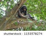 monkey or trachypithecus...   Shutterstock . vector #1153578274
