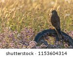 kestrel perched on old wheel in ...   Shutterstock . vector #1153604314