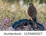 kestrel perched on old wheel in ...   Shutterstock . vector #1153604317