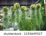 tillandsia usneoides shop. | Shutterstock . vector #1153649317