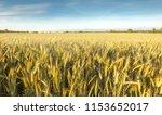 rye field. belarus. | Shutterstock . vector #1153652017