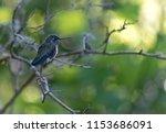 tacoma  anna's hummingbird is... | Shutterstock . vector #1153686091