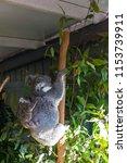 koala in the national park ...   Shutterstock . vector #1153739911