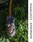 koala in the national park ...   Shutterstock . vector #1153739914