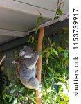 koala in the national park ...   Shutterstock . vector #1153739917