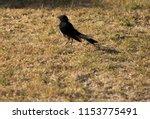 chirpy little juvenile ... | Shutterstock . vector #1153775491