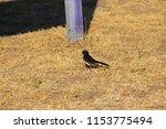 chirpy little juvenile ... | Shutterstock . vector #1153775494