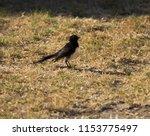 chirpy little juvenile ... | Shutterstock . vector #1153775497