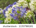 agapanthus or lily of the nile... | Shutterstock . vector #1153788181