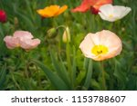 colorful poppies in a field of... | Shutterstock . vector #1153788607
