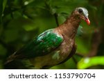 the common emerald dove  asian... | Shutterstock . vector #1153790704