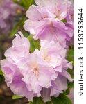 delicate light pink... | Shutterstock . vector #1153793644