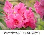 dark pink rhododendron flowers... | Shutterstock . vector #1153793941