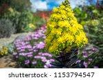 striking yellow flowers of the... | Shutterstock . vector #1153794547