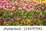 purple  pink and yellow tulips... | Shutterstock . vector #1153797091