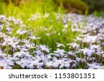 sun kissed meadows with white... | Shutterstock . vector #1153801351