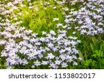 meadow with white star flowers... | Shutterstock . vector #1153802017
