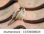 a rare tree sparrow  passer... | Shutterstock . vector #1153838824