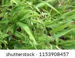 Ornamental Grass In Bloom...