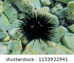 sea urchin under the sea | Shutterstock . vector #1153922941