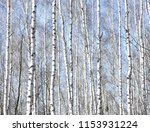several birches with white...   Shutterstock . vector #1153931224