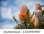 banksia prionotes   acorn...   Shutterstock . vector #1153954987