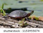midland painted turtle ...   Shutterstock . vector #1153955074