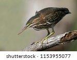 juvenile green heron  butorides ...   Shutterstock . vector #1153955077