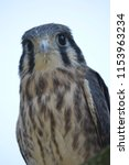 young kestrel staring at you...   Shutterstock . vector #1153963234