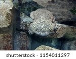 chinese giant salamander in... | Shutterstock . vector #1154011297