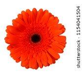 one orange gerbera flower... | Shutterstock . vector #1154041504