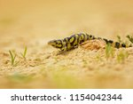Tiger Salamander Or Eastern...