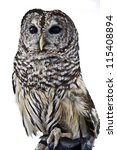 Stock photo barred owl sitting on handler s glove 115408894