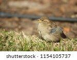 little bird standing on the... | Shutterstock . vector #1154105737