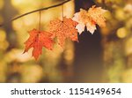 beautiful autumn maple leaves... | Shutterstock . vector #1154149654