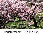 Magnolia Tree In Bloom. Many...