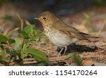 swainson's thrush in migration | Shutterstock . vector #1154170264