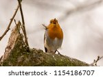 lone singing robin  perched on... | Shutterstock . vector #1154186707