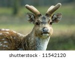 close up of a beautiful deer in ... | Shutterstock . vector #11542120