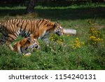 two siberian tigers  panthera... | Shutterstock . vector #1154240131