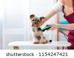 Stock photo yorkie puppy getting haircut 1154247421