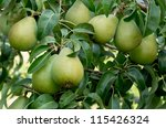 Ripe Bartlett Pears On The Tree ...