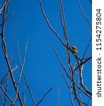 tiny  little  silvereye or wax... | Shutterstock . vector #1154275804