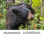 bear feeding on berries in... | Shutterstock . vector #1154303191